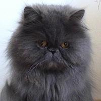 Породистые пушистые коты