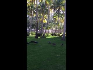 Доминикана. на территории отеля гуляют свободно павлины!