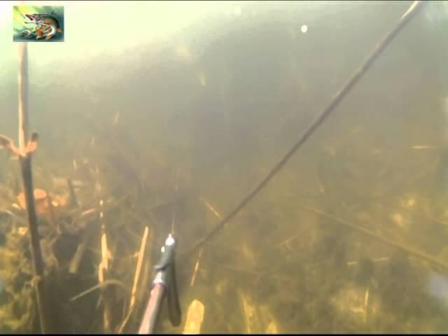 Подводная охота в засаде (4 ТОЛСТОЛОБИКА И ОДИН АМУР).