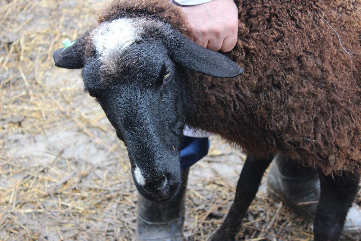 В Ростовской области ветеринарные инспекторы задержали 120 овец из Дагестана