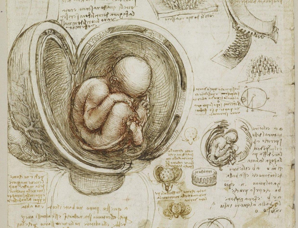 Human fetus drawing