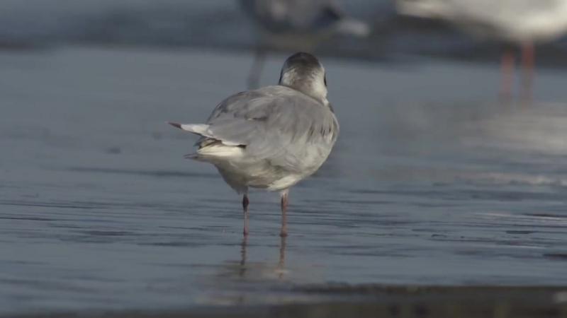 Морские голубки. Samur-Yalama National Park дикий мир и поведение животных в нем