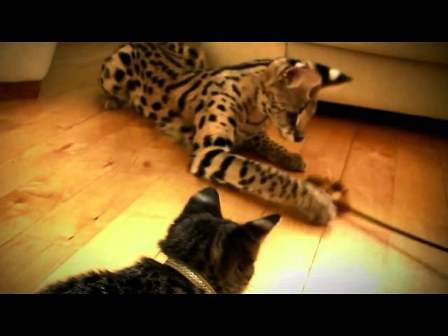 Саванна самая крупная кошка. Домашняя кошка и дикий тростниковый кот сервал.