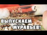 Муравьиная ферма! - Выпускаем муравьёв