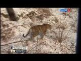 Тигр и козел стали неразлучными друзьями