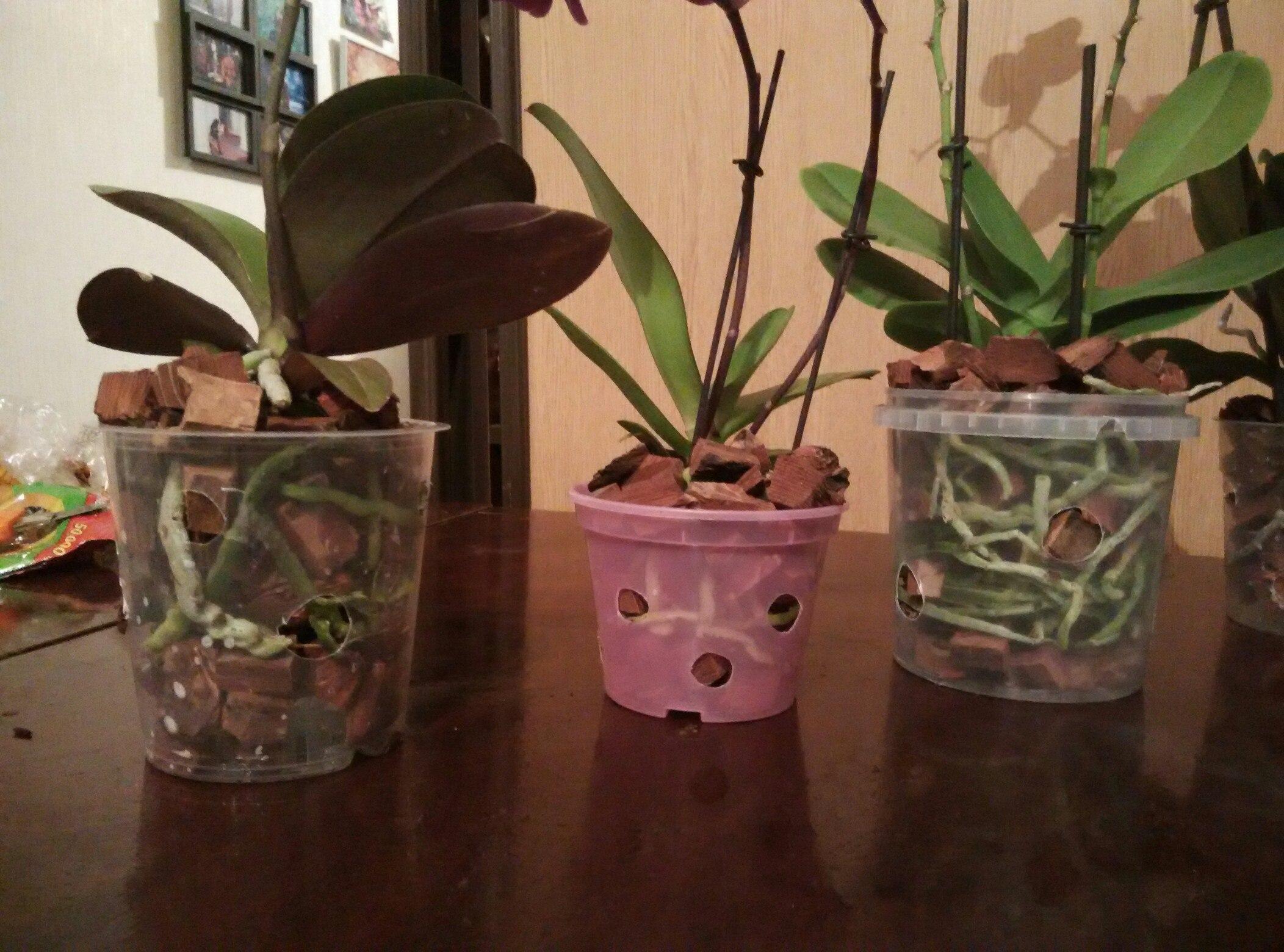 Орхидея фаленопсис уход в домашних условиях пересадка после покупки 840