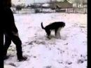 Собачьи бои,Тосманский дьявол Алексея Алиева Зебирь-Юрт Дарваг