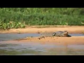 Охота леопарда на крокодила.