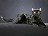 Мандалай - кошки цвета ночи