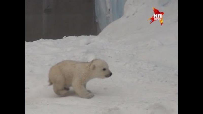 Белый медвежонок из Новосибирского зоопарка стал звездой британского таблоида