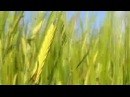 Медитация Колосья пшеницы ● Meditation Spikelets of wheat