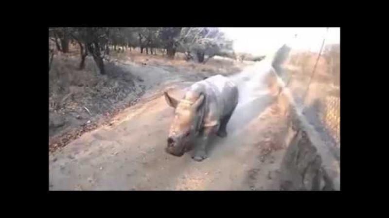Носорог овца