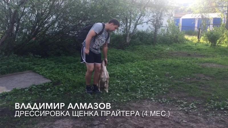 Дрессировка щенка Прайтера 4 мес