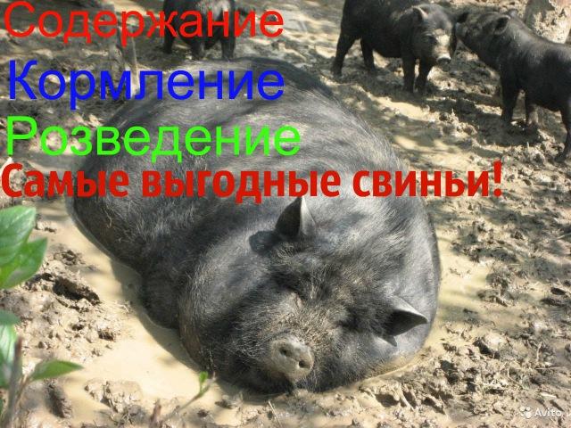 Содержание/разведение/кормление Вьетнамских свиней./ Самые выгодные свиньи./Жизнь в деревне\