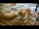 Кот Мейн Кун vs Очень Злая Собака. Звериные баталии. #МейнКунКот
