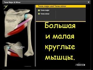 Большая и малая круглые мышцы. Анатомия и функции.