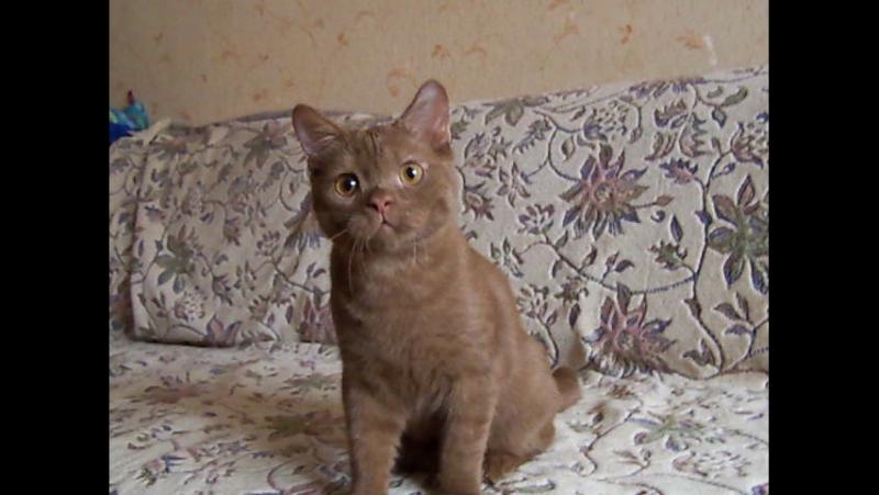 Продажа. Luboslav Reign Of Fire Bri o - 5 мес. www.rofcat.ru/index.php/kotyata/79-10-10-2015-21-j-pomet-l