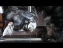 Кот мейн кун Винсент забавно пьет воду из под крана.