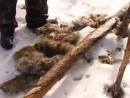 Охота и рыбалка в Якутии. Охота на волка