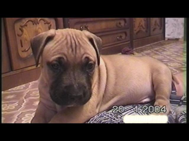 Дик щенок, моменты из жизни стаффорда Дика (видео 2010 года) [Рыбачёв и Пёс]