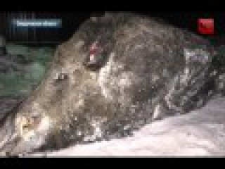 Самый большой кабан в мире убит в Свердловской области, удачная охота на кабана