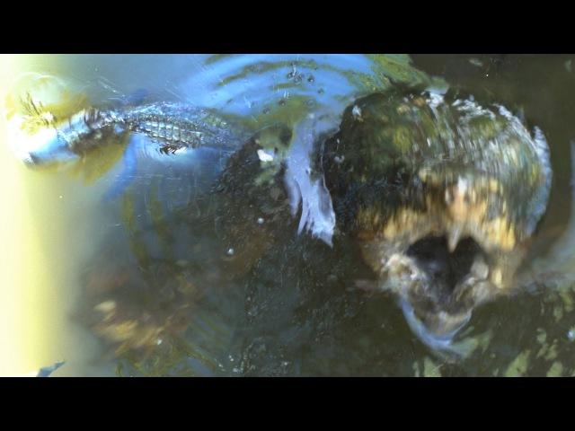 Грифовая черепаха атакует аллигатора