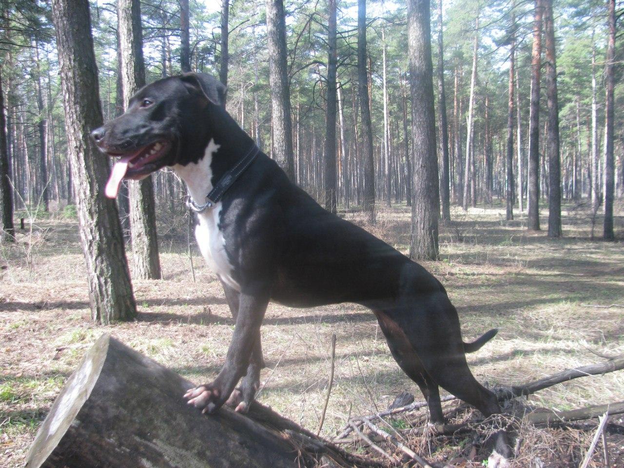 Питомник питбультерьеров Dog Arena Yve_dre16qk