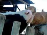 Кот и Корова - любовь без границ!