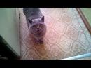 Говорящая кошка просит мясо :-)) Британка- попрошайка.