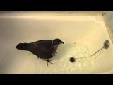 Ястреб-Тетеревятник Сильва купается в ванной.