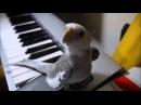 Поющий попугай, попугай насвистывает мелодию
