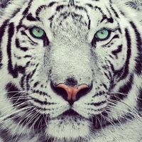 тигр лаоху инструкция по применению - фото 11