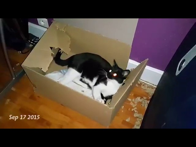 Кот ест свою коробку / Elliot the cat vs Box