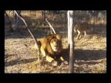 Lioness Scares Lion