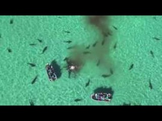 Drone footage shows shark feeding frenzy in Australia