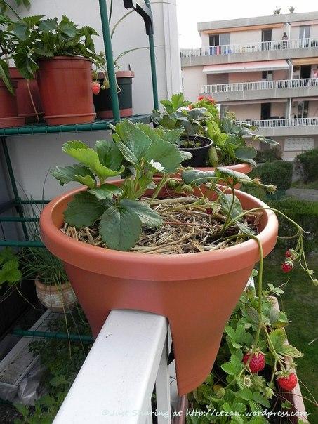 Клубника на балконе