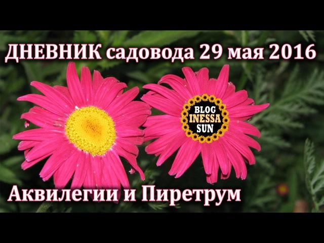 Аквилегия, пиретрум, гвоздика. ДНЕВНИК садовода 29 мая 2016