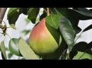 Болезни плодовых деревьев. Час у дачи. 19/04/2014 GuberniaTV