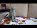 Девон-рекс кошка Big Cullinan's Ilene Peri -: Ванька. Продаётся.