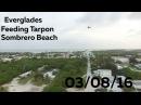 Feeding Tarpon, Everglades, Sombrero Beach - 03/08/16 - Huntley Brothers