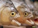 Блогер GConstr заценил! Пираньи Убивают и Едят Лягушку. Piranhas. От Alexander Kondrashov