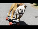Dogs Riding Skateboard: Like HUMANS (HD) [Funny Pets]
