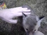 Baby fox gets head stuck in can Video man rescues baby fox from can 496 kbps