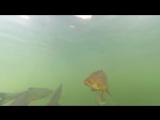 Гигантские сомы в пруду около ЧАЭС