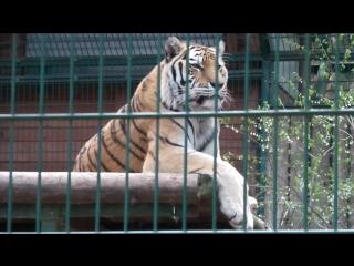 zoo tygrys