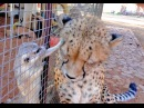 African Cheetah Versus Meerkats Big Cat Gets Small Animal to Groom Him Then Purrs Loves It
