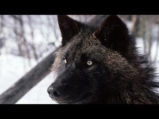 Супер фильм!!! Восхождение черного волка.  Документальные фильмы