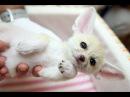 Смешные видео про кошек. Кошка и лисенок фенек