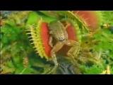 Венерина мухоловка поедает лягушек и насекомых