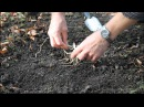 The Planting of hardy Lady's Slipper Orchids in the Garden
